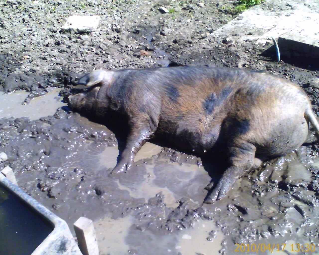 Happy Pig Mud Happy pig wallowing.