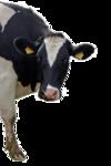 moo man cow