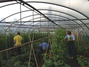 Dag bean harvest