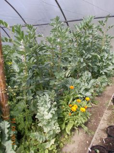 Early broadbeans with companion plants calendula, chamomille and poppy