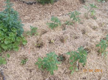 Young tomato plants mulched with straw