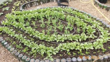 peas, radishes, carrots and parsley