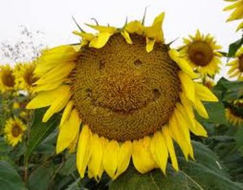 sunflower head with smiley face