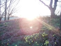 sunrise by the daffoldil mound