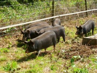 Pigs at School Farm