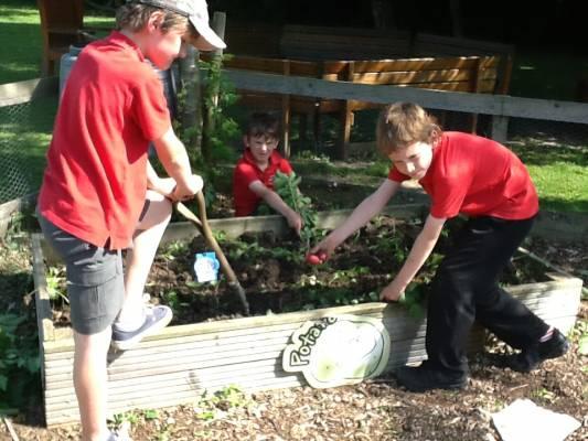 Primary school kids growing potatoes for the DE4 Food food hub.