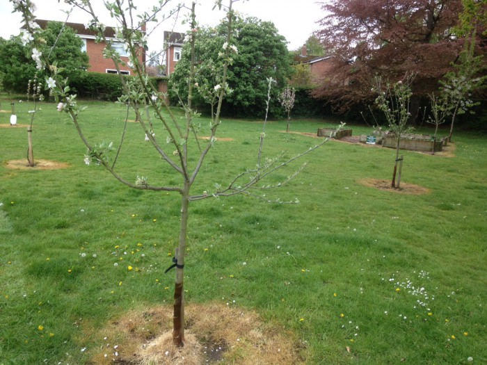 The Community Orchard (the weedkiller round the trees was sprayed by the Council, not Transition Wilmslow).