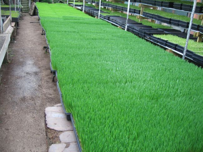 After seeing the acres and acres of lawns of LA, this 'lawn' of wheatgrass was a refreshing sight!