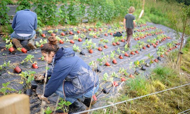Planting strawberries.