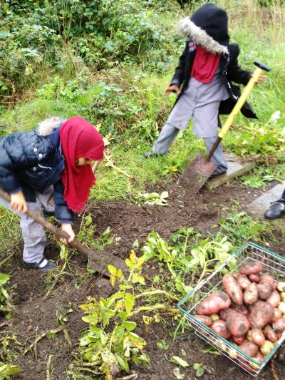 5 year olds harvesting potatoes (pic Charles Whitehead)